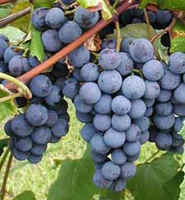 Grapes may aid a bunch of heart risk factors