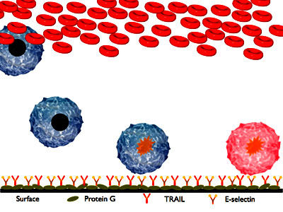 Capture and kill cancer cells in the bloodstream