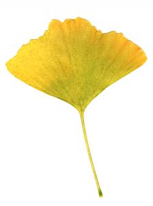Ginkgo biloba may not work