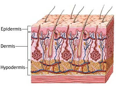 Hidden sensory system in the skin