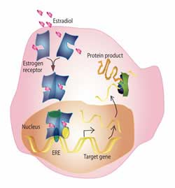 Estrogen and Bone Protection