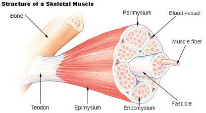 Protein Is Critical To Formation Of Muscles