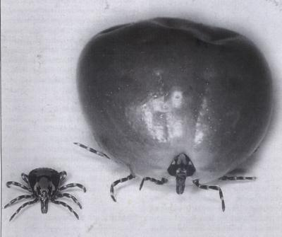 Female ticks have market on gluttony