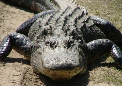 Alligator blood for antibiotic-resistant infections