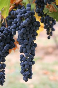 Benefit of grapes may be more than skin deep