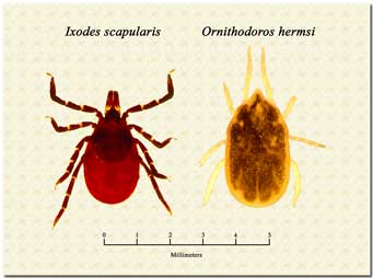 Guideline For Treating Lyme Disease