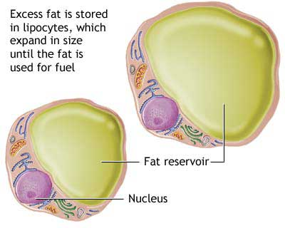 Genetics of fat storage in cells