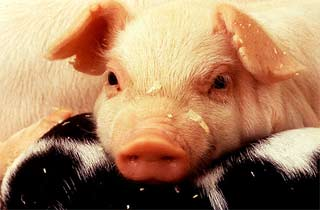 New pathogen from pigs' stomach ulcers