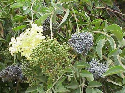 The elderberry way to perfect skin