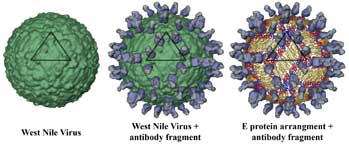 West Nile Virus Antibody Binding Site