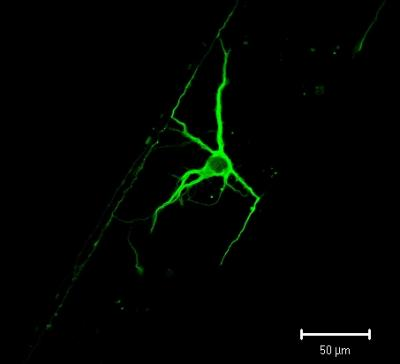The science of growing neurons