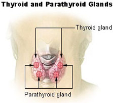 Stem cell success to regenerate parathyroid glands