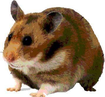 Social Stress Prompts Hamsters To Overeat