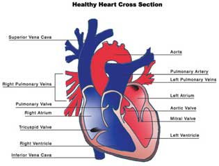 Adults With History Of Childhood Heart Repairs