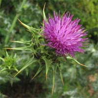 Milk Thistle Against Lung Cancer