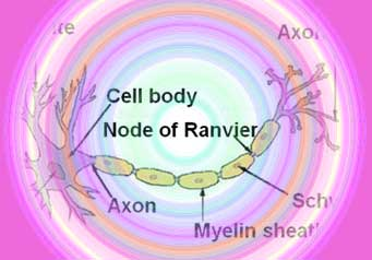 Enticing Nerve Cells To Muscles